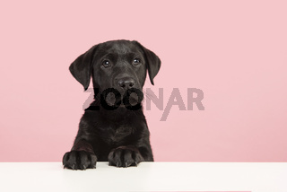 Portrait of a cute black labrador retriever puppy looking at the camera on a pink background on its pays on a white table with space for copy