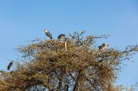The marabou stork Ethiopia Africa wildlife