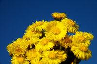 foalfoot (Tussilago farfara) blooms first.