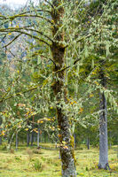 Lichen-covered tree in Berchtesgarden National Park, Germany