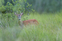 Rehbock in der Brunftzeit / Roebuck in the mating season / Capreolus capreolus