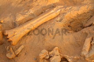 Ancient fossil bones