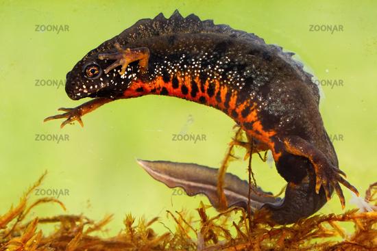 Male danube crested newt swimming underwater in river