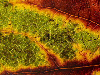 Unterseite eines durchleuchtenden herbstlichem Blatt in verschiedenen Farbtönen.