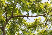 bird African Emerald Cuckoo, Ethiopia wildlife