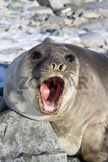 Portrait of a young southern elephant seal who growls