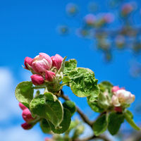Blossom on apple tree in spring in a garden