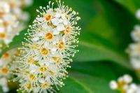 Blossoms of an evergreen cherry laurel bush