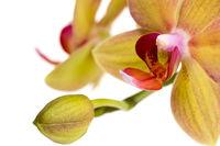 Beautiful phalaenopsis orchid 3