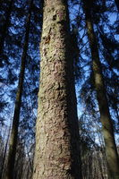 Picea abies, Norway Spruce, bark