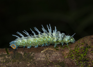 Atlas Moth Caterpillar, Goa, India