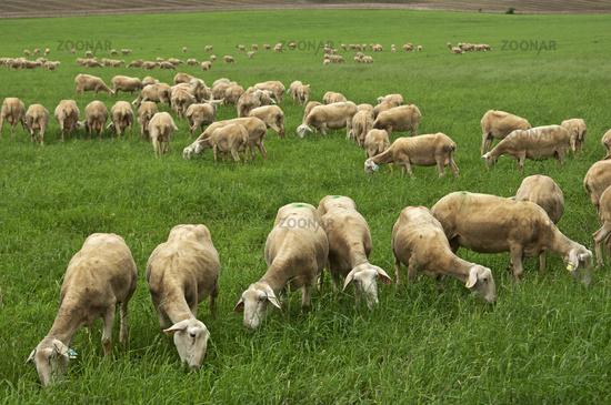 Lacaune dairy sheep, Roquefort region, France