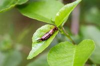 An ear bug on the leaf of a bush.