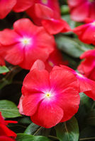 foliage vinca flowers, rose vinca flowers (Madagascar periwinkle)