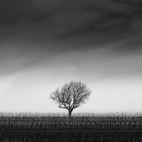 Lonely tree in winter with vineyard in Burgenland