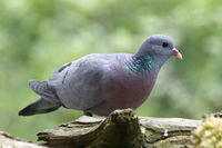 Stock dove foraging