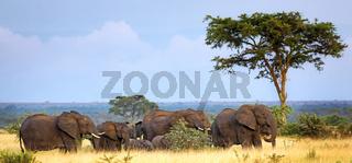 Elefanten im Queen Elizabeth Nationalpark, Ishasha-Sektor, Uganda (Loxodonta africana) | Elehants at Queen Elizabeth National Park, Ishasha sector, Uganda (Loxodonta africana)