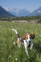 Beagle in flower meadow