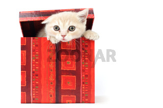 cat in gift box isolated on white background