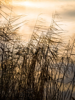 Reeds on lake Neusiedlersee in Burgenland at sunset