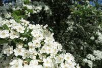 20200506_Crataegus monogyna, Eingriffliger Weißdorn, Common Hawthorn014Rosenkäfer, Rose Chafer.jpg