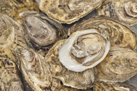 Oysters fresh from the producer