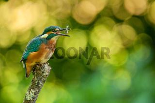 Eisvogel,Kingfisher