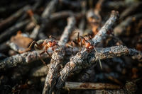 Red forest ant macro close up