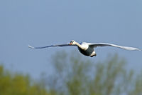 Mute Swan in flight / Cygnus olor