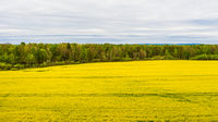 Yellow rapeseed field. Spring agricultural landscape. Yellow field of rape crops