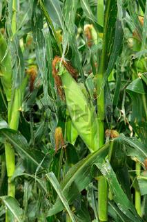 Corn (maize)