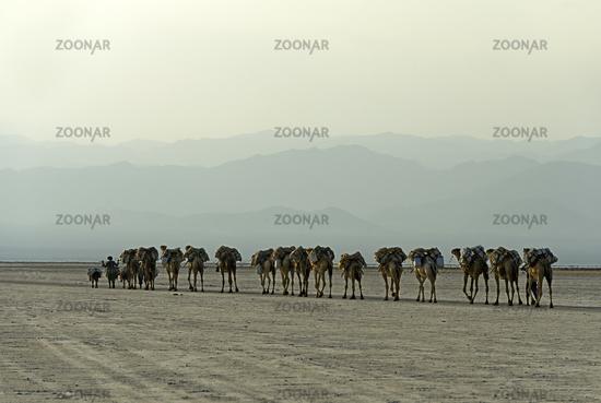 Dromedary caravan carrying at dusk salt slabs over Lake Assale, Danakil depression, Ethiopia