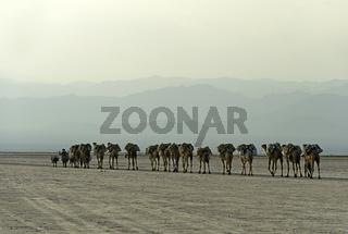 Dromedar-Karawane transportiert Steinsalzplatten über den Assale Salzsee in der Abenddämmerung