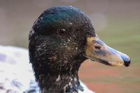 Head shot of Male Snowy Call Ducks