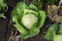 Top view of green cabbage heads growing in the garden