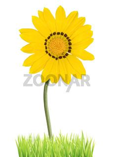 Wonderful Daisy isolated on white background. Germany