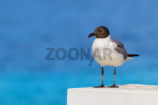 Black-headed gull with blue sea background