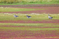 Greylag Geese in a salt meadow with glasswort in fall colours