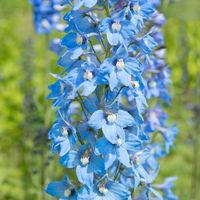 Blue delphinium flower in nature