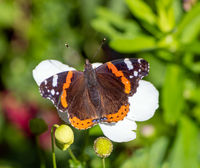 Macro of an Admiral butterfly