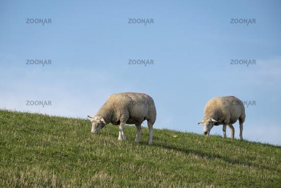 dike sheep