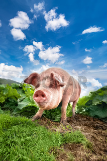 Cute pig grazing at summer meadow at mountains pasturage under blue sky. Organic agriculture natural background