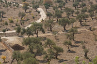 Olive trees on Mount of Olives in Jerusalem in Israel during hot summer day