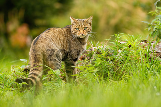 European wildcat with black stripes on tail looking behind over shoulder in summer