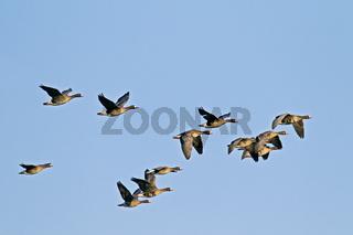 Blaessgaense im Flug / Anser albifrons