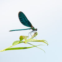 beautiful dragonfly insect with space for your content