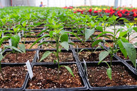 A long table of peppers growing in a greenhouse