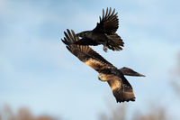Red kite and common raven flying on the blue sky.