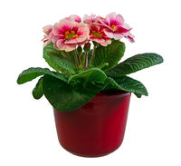 Isolated pink primrose flower in a flowerpot