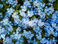 Forget me not flower ( Myosotis sylvatica )